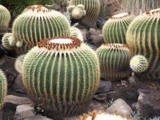 обои Разновидность степного кактуса фото
