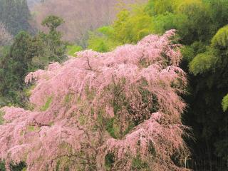 обои Цветущая весенняя сакура, на фоне зеленых деревьев фото