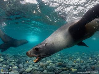 обои Морские котики покаряют глубины фото
