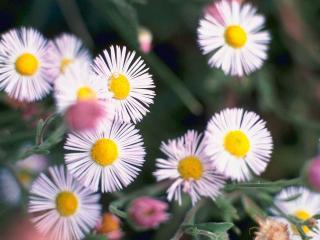 обои Белые цветочки фото