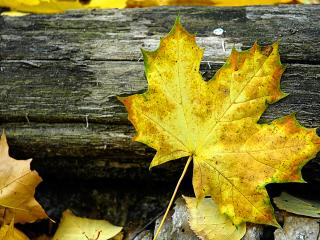 обои Осенний лист фото