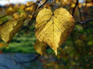обои Желтый осенний березовый лист фото