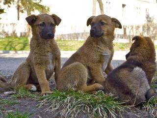 обои Три бездомных щенка фото