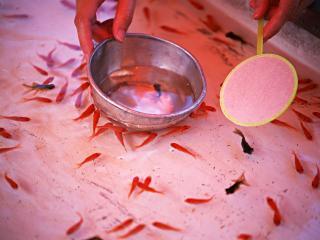 обои Мальки золотой рыбки фото