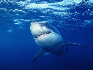 обои Зубастая акула фото