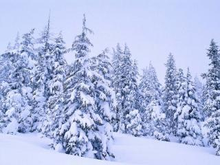 обои Ели в снегу фото