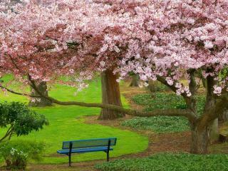 обои Цветущая сирень в парке и синяя скамейка фото