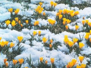 обои Весна,   тюльпаны фото
