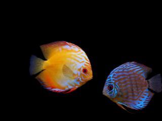 обои Две рыбки фото