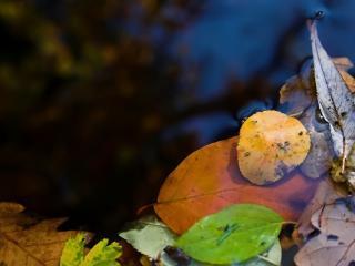 обои Осенние листья на воде фото