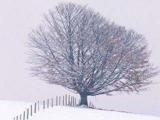 обои Одинокое зимнее дерево фото