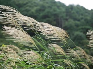 обои Макушки луговой травы фото