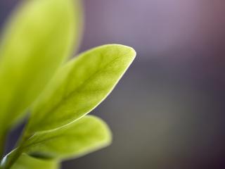 обои Чайные листья на сереневом фоне фото