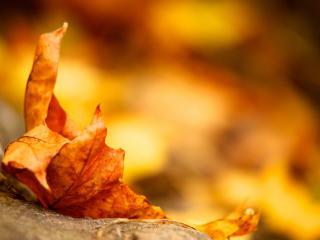 обои Пожелтевший кленовый листок фото