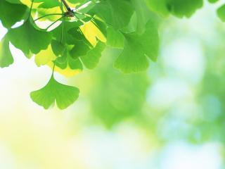 обои для рабочего стола: Зеленые листья дерева жасмин