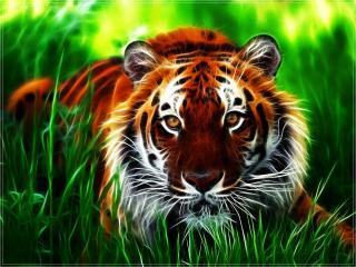 обои Красавец тигр фото