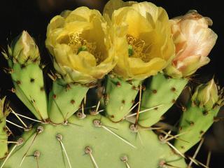 обои для рабочего стола: Цветение кактуса