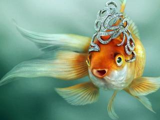 обои Золотая рыбка фото