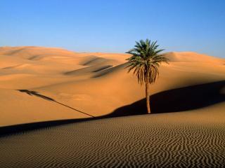 обои Пальма в пустыне фото