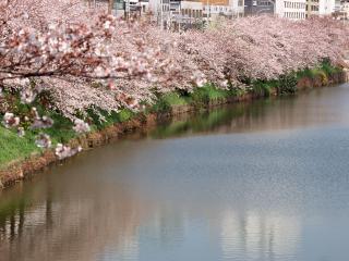 обои Цветущая весенняя сакура, вдоль берега пруда фото