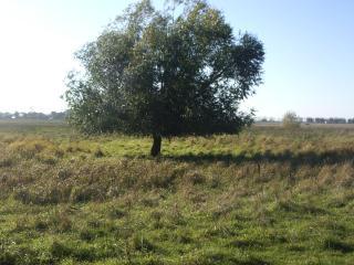 обои Летнее дерево в поле фото