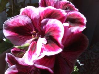 обои Касавец цветок фото