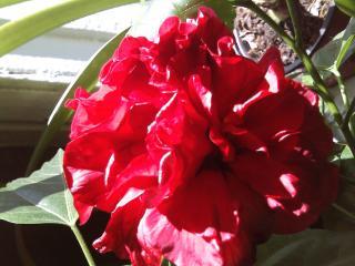 обои Китайская роза фото