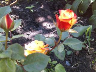 обои Распускающиеся розы фото