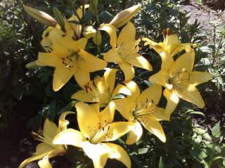 обои Желтые лилии фото