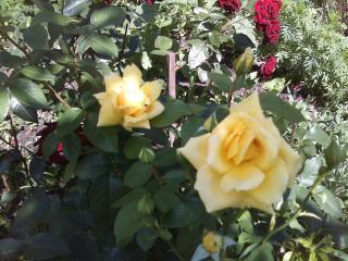 обои для рабочего стола: Розы в нашем саду