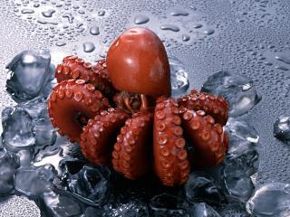 обои Красный осьминог фото