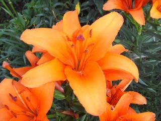 обои для рабочего стола: Оранжевые лилии