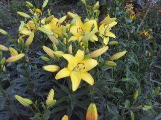 обои Семейство желтых лилий фото