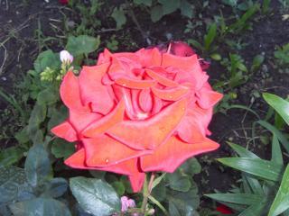 обои Красавица роза фото