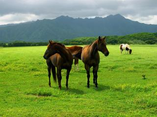обои Кони пасутся на поле фото