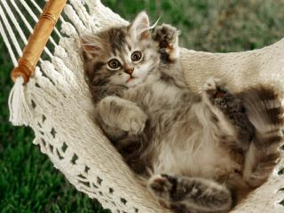 обои Котёнок на гамаке фото