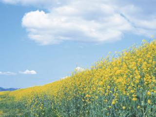 обои Желтая поляна летом фото