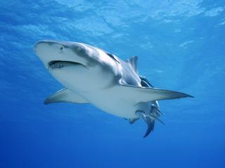 обои Акула под водой фото