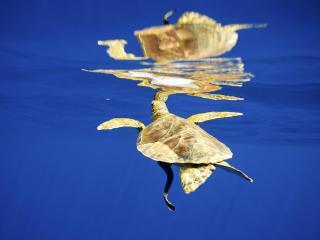 обои Детеныш черепахи плавает фото