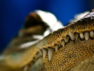 обои Зубы крокодила фото