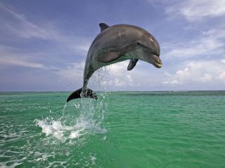 обои Дельфин совершает прыжок фото