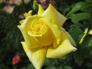 обои ЖЕЛТАЯ роза фото