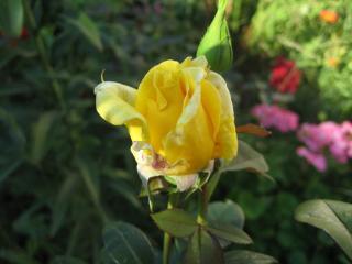 обои ЖЕЛТАЯ роза НАЧИНАЕТ СВОЙ ПУТЬ фото