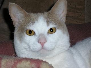 обои Пятнистый котик фото