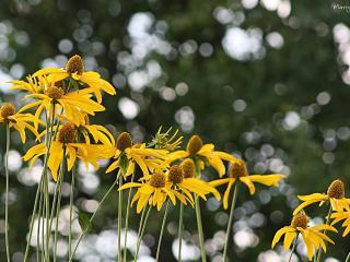 обои Желтые цветы фото