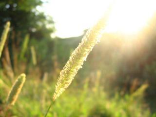 обои Травинка и солнце фото