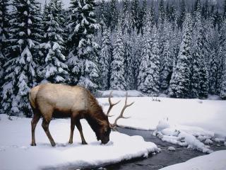 обои Лось зимой фото
