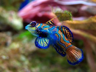 обои Цветная рыбка плывет фото
