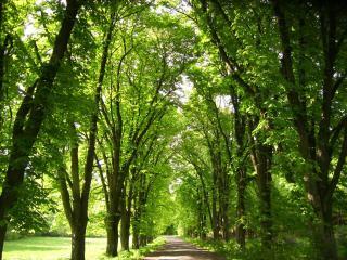 обои Аллея из дубовых деревьев фото