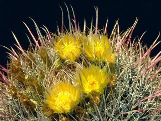 обои Цветение кактуса фото